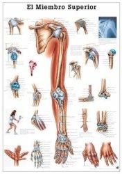 The Upper Extremity Laminated Anatomy Chart El Miembro Superior In Spanish