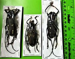 Four Spot Longhorn Beetle Batocera Lombokiana Fast From Usa