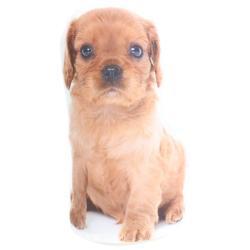 Splosh Puppy Doorstop - Ruby